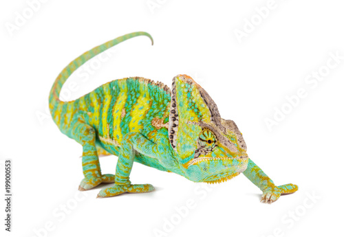 Photo sur Aluminium Cameleon Veiled chameleon (chamaeleo calyptratus) close-up.