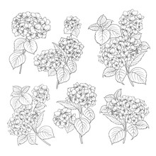 Black Contour Of Hydrangea On White Background. Mop Head Hydrangea Flower Isolated Over White. Beautiful Set Of Blooming Flowers.Vector Illustration.
