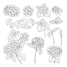 Black Contour Of Hydrangea On ...