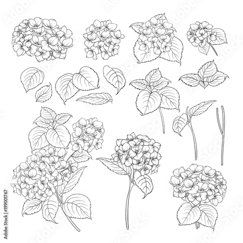 Fotografie, Tablou Black contour of hydrangea on white background