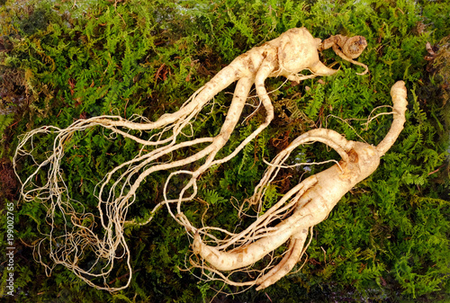 Foto auf Gartenposter Aromastoffe Wild Korean ginseng root. Wild ginseng can be processed to be red or white ginseng. Ginseng has been used in traditional medicine.