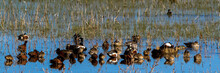 Assorted Ducks Rest In The Mar...