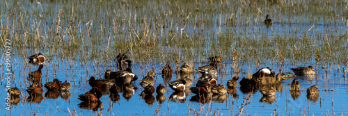 Stampa su Tela Assorted ducks rest in the marsh at Bosque del Apache National Wildlife Refuge i
