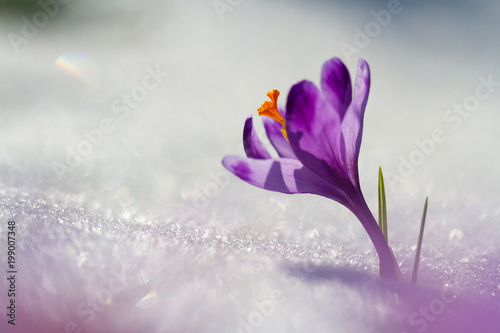 Keuken foto achterwand Krokussen View of magic blooming spring flowers crocus growing from snow in wildlife. Amazing sunlight on spring flower crocus