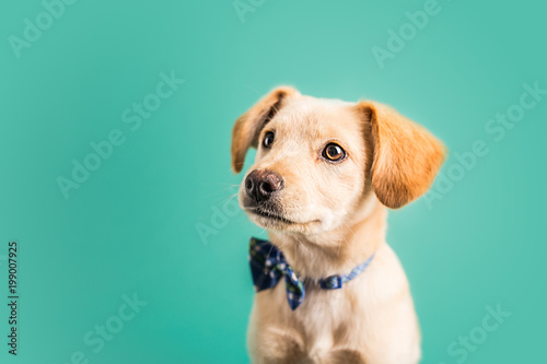 Adorable golden puppy Tablou Canvas