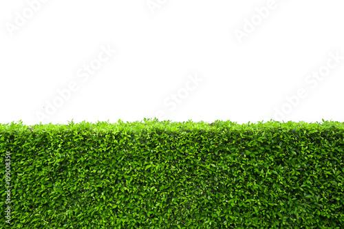 Photo  Isolated green hedge bush on white background