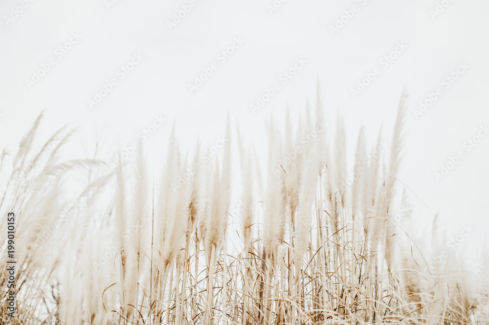 Fototapeta Pampas Grass