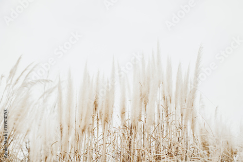 Photo sur Toile Herbe Pampas Grass