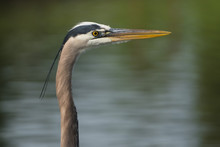 Great Blue Heron Closeup, Lake...