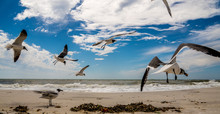 A Flock Of Laughing Sea Gulls ...
