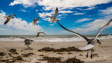 A Flock Of Laughing Sea Gulls On The Florida Coast In Flight On A Beautiful Day At The Gulf Of Mexico.
