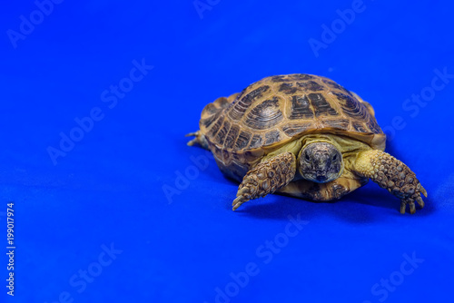 Deurstickers Schildpad turtle on a blue background