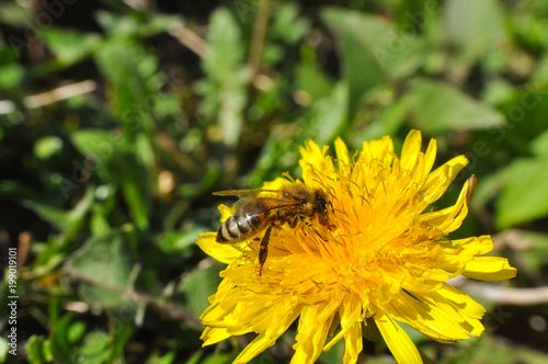 Staande foto Bee Honey bee on dandelion. Honey bee pollinating on spring meadow