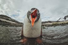 Cute Gentoo Penguin In Antarct...