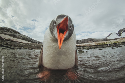Spoed Foto op Canvas Pinguin cute gentoo penguin in Antarctica, adorable baby animal, sea bird singing