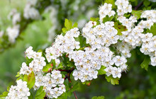 Flowers Blooming Hawthorn In Garden (Crataegus Monogyna). Common Names: Single-seeded Hawthorn, Thornapple, May-tree, Whitethorn, Mayblossom, Maythorn, Quickthorn, Motherdie, Haw Or Hawberry.