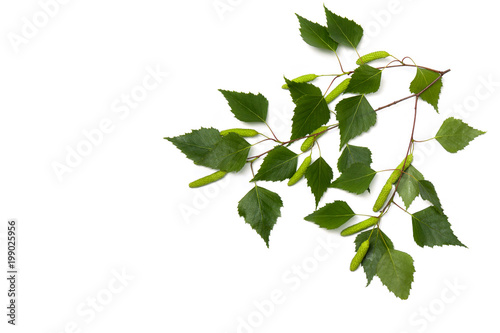 Fényképezés  Twigs birch with green leaves and catkins on a white background with space for text