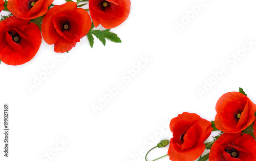 Frame of flowers red poppies (Papaver rhoeas, common names: corn poppy, corn rose, field poppy, red weed) on a white background. Top view, flat lay.