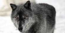 Schwarzer Wolf  Grauer Wolf Im Schnee