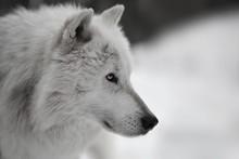 Weisser Wolf  Weißer Wolf