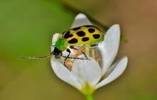 A Spotted Cucumber Beetle (Di...