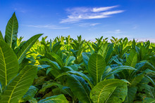 Tobacco Big Leaf Crops Growing...