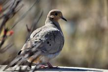 American Mourning Dove - Zenai...