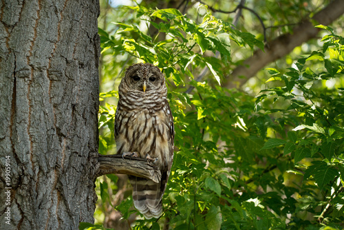 Northern spotted owl on tree branch in green forest