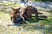 Cute Furry Brown Kangaroo Mother With Her Baby In Her Pouch In Victoria (Australia) Close To Melbourne Laying In The Sun On A Lush Green Grass Lawn