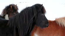 Black And Brown Icelandic Hors...