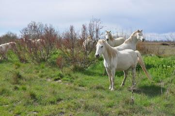 taureau et cheval de Camargue