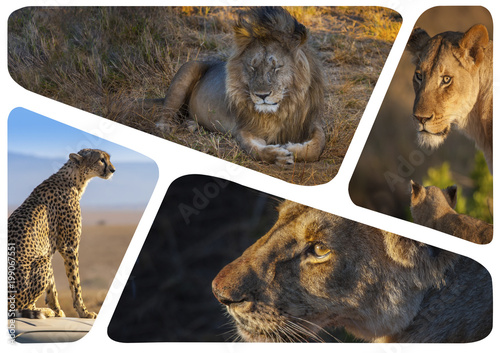 Spoed Foto op Canvas Oceanië African predatory animals. Collage of lions. Photo safari in Africa. African lion.