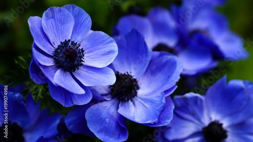 Papiers peints Pansies Close up shot of blue blossoms