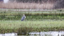 This Heron Is Waiting For An Snack In The Meadow