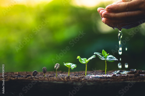 Foto op Aluminium Planten Grow coffee beans Plant coffee tree Hand care and watering the trees Evening light in nature