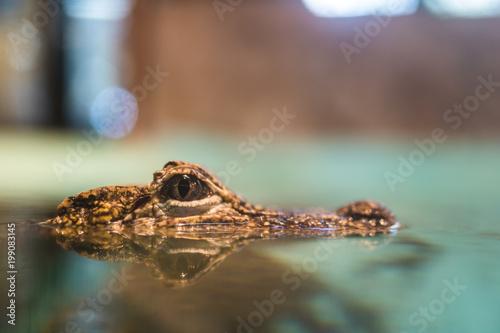 Keuken foto achterwand Krokodil ワニ