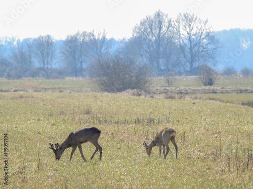 deer in the spring in the fields