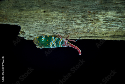 Pyrops oculata on Stick branches back blackground Poster