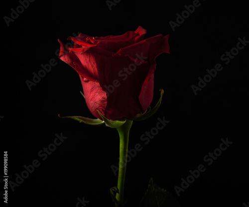 Rosa Rossa Su Sfondo Nero Con Luce Di Taglio Buy This Stock Photo