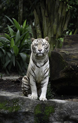 FototapetaTiger in a jungle. White Bengal tiger sits on a rock with natural background