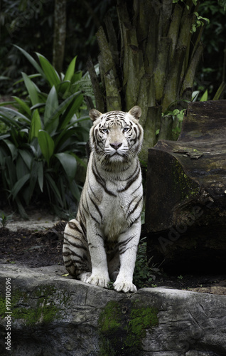 Tiger in a jungle. White Bengal tiger sits on a rock with natural background