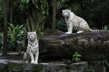 Fototapeta Zwierzęta Two tigers in a jungle. A pair of white Bengal tigers over natural background