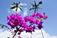 Branch Of Beautiful Bougainvillea Flowers On Blue Sky Background
