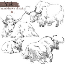 Yak Hand Drawn Sketch. Wild  A...