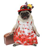 Pug Dog Dressed In A Dress