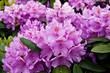 canvas print picture - Flowering bush of pink rhododendron