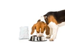 Beagle Dog Eating Dog Food Iso...