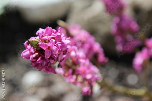 Photo Pink Daphne - Austria