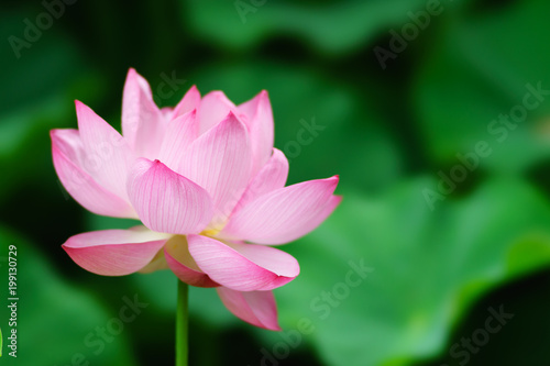 Fotobehang Lotusbloem ハスの花