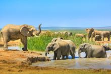 African Elephants Near A Large...